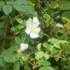 Dog-rose Rosa canina