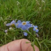 Water Forget-me-not Myosotis scorpioides