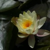 Coloured Water-lily Nymphaea marliacea