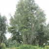 White Willow Salix alba