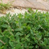 Knotgrass Polygonum aviculare