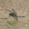 Black-tailed Skimmer Orthetrum cancellatum