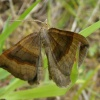 Shaded Broad-bar Scotopteryx chenopodiata