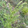 Common Gromwell Lithospermum officinale