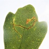 Scarce Maple Pigmy Stigmella aceris