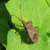 Dock Bug Coreus marginatus