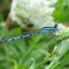 Common Blue Damselfly Enallagma cyathigerum