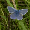 Common Blue butterfly Polyommatus icarus