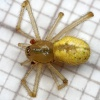 Comb-footed Spider Enoplognatha ovata
