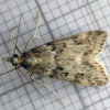 Narrow-winged Grey Eudonia angustea