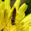 Chequered Hoverfly Melanostoma scalare