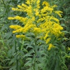 Canadian Goldenrod Solidago canadensis
