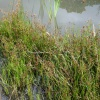 Jointed Rush Juncus articulatus
