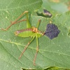 Speckled Bush-cricket Leptophyes punctatissima