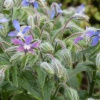 Borage Borago officinalis