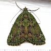 Red-green Carpet Chloroclysta siterata