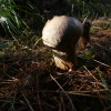 Pestle Puffball Lycoperdon excipuliforme