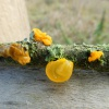 Yellow Brain Tremella mesenterica