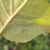 Brown Apple Midget Phyllonorycter blancardella