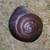 Girdled Snail Hygromia cinctella