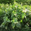 White Dead-nettle Lamium album