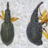 White Clover Seed Weevil Protapion fulvipes