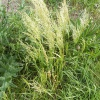 Yellow Oat-grass Trisetum flavescens