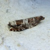 Triangle-marked Roller Ancylis achatana