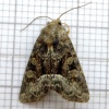 Marbled Minor agg. Oligia strigilis agg.