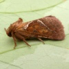 Orange Swift Triodia sylvina