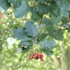 Swedish Whitebeam Sorbus intermedia