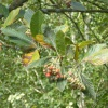 Common Whitebeam agg. Sorbus aria agg.