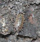 Common Striped Woodlouse Philoscia muscorum