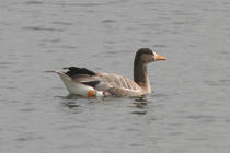 White-fronted Goose Anser albifrons, 18/06/2003