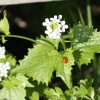 Garlic Mustard Alliaria petiolata