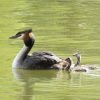 Grebe and chicks