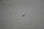 Great Crested Grebe Podiceps cristatus, 12/01/2014