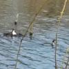 a pair of crested grebes nesting