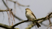 Willow Warbler - Phylloscopus trochilus