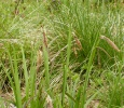 Pendulous Sedge - Carex pendula