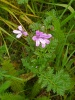 Common Stork's-bill  - Erodium cicutarium