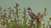 Whitethroat Sylvia communis, 20/05/2014