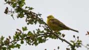 Yellowhammer Emberiza citrinella, 28/06/2014