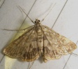 Brown China-mark - Elophila nymphaeata