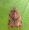 Large Fruit-tree Tortrix  - Archips podana