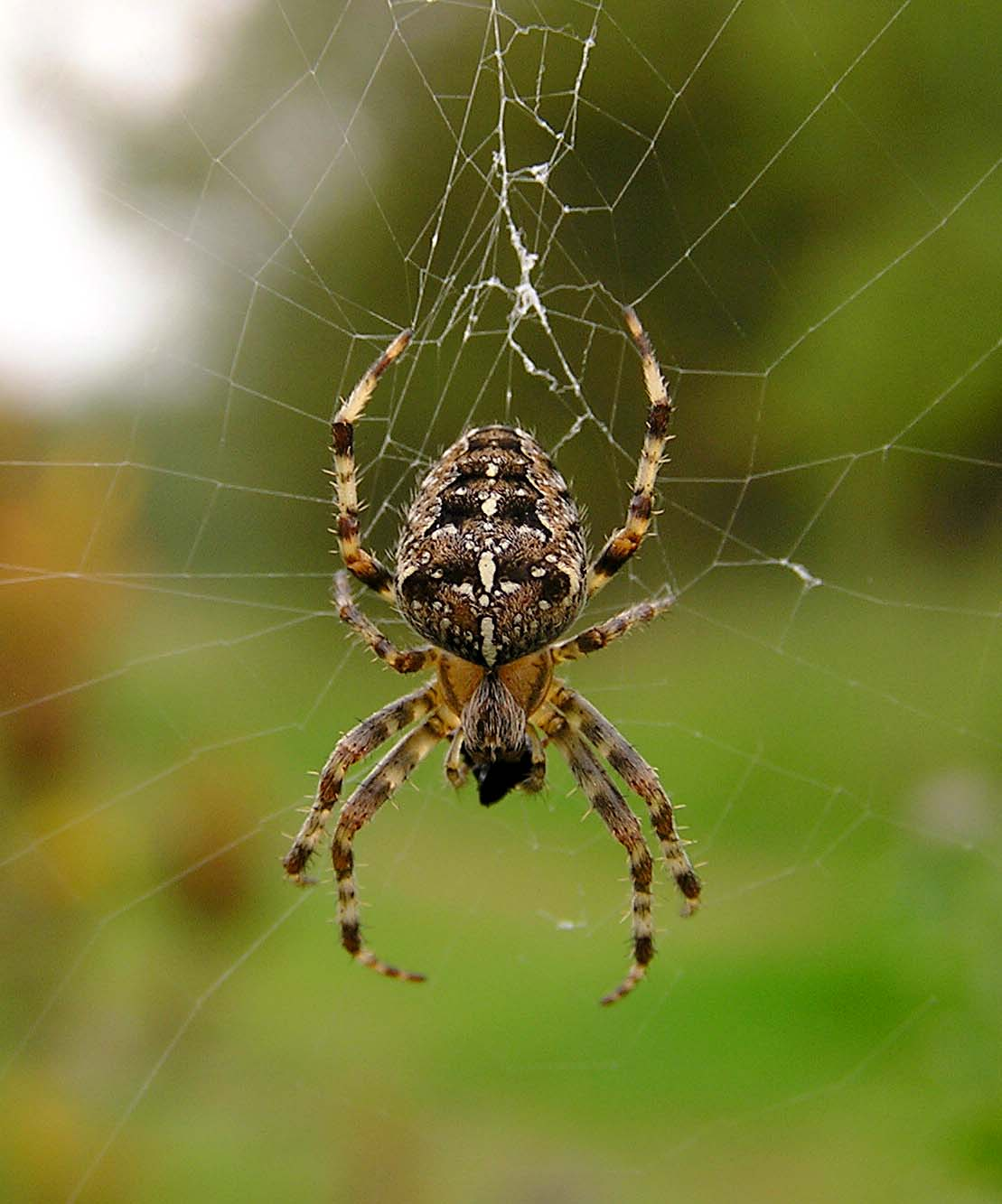 Garden spider naturespot for What does a garden spider look like