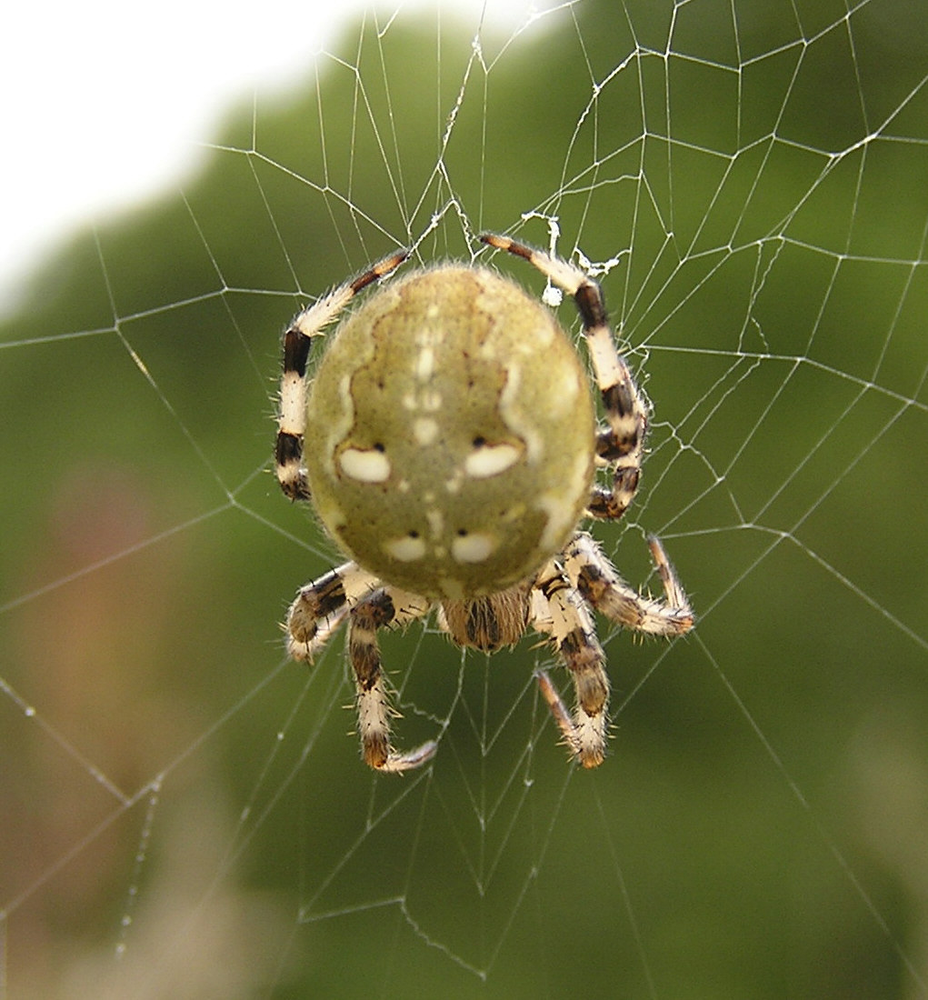Four Spotted Orb Weaver Naturespot