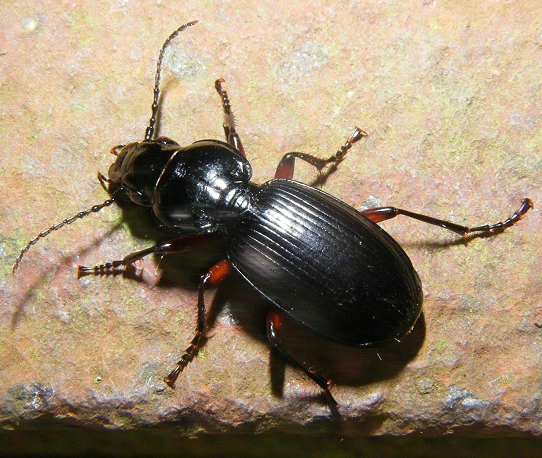 Black Clock Beetle | NatureSpot