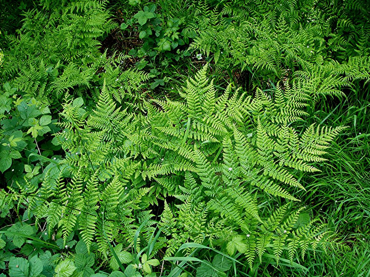 Fern Rhizome Lady-fern | NatureSpot