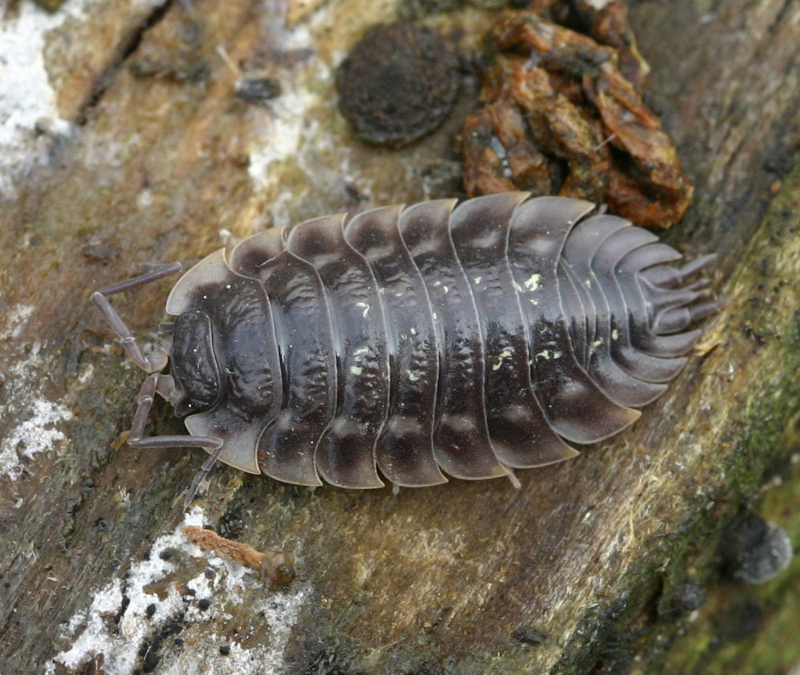 Oniscus Asellus Common Shiny Woodlouse
